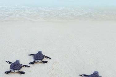 et si la chance vous sourie peut être même les bébés tortues marines