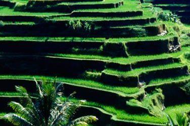 Admirez les somptueuses rizières en terrasse...