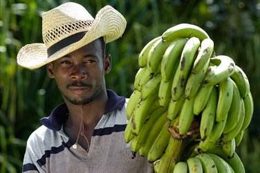Agriculteur en Guadeloupe et les excellentes bananes de l'île !