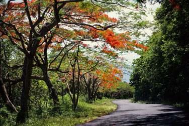 Les flamboyants colorés de la Guadeloupe