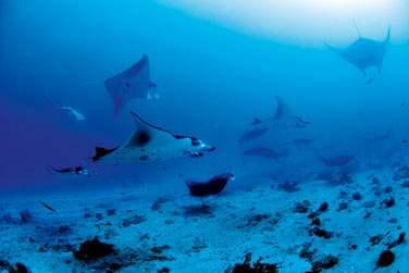 Vous pourrez admirer de nombreuses espèces de poissons et parfois même des raies Manta...