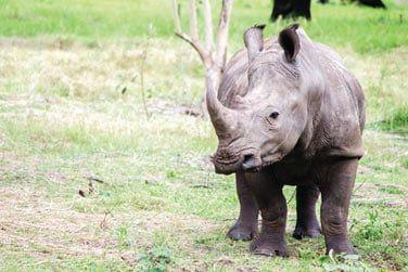 ... et même des rhinocéros !