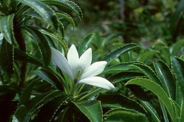 C'est ensuite du Côté de Raiatea que vous découvrirez les légendes de la fleur de Tiare Apetai : emblème de Raiatea  ...