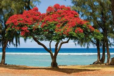 Les flamboyants, arbres typiques de l'île de la Réunion