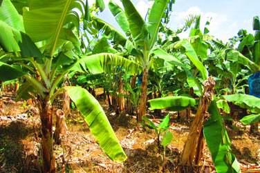 Prenez le temps d'aller visiter Vousles plantations de bananes