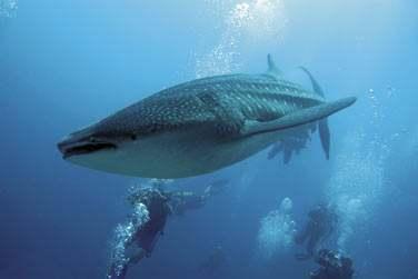 Partez à la rencontre des raies mantas et requins baleines