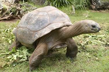 Découvrez les fameuses tortues géantes de Rodrigues