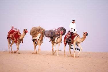 Balades à dos de chameau dans le désert...