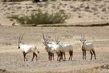 Vous aurez peut-être l'occasion de découvrir des Oryx au coeur des dunes