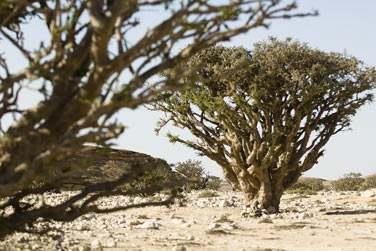 Les célèbres arbres à encens de la région du Dhofar