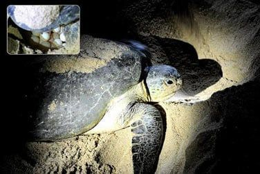 Vous pourrez observer les tortues vertes marines et les voir pondre sur la plage