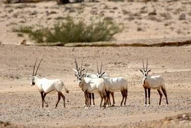 Vous aurez peut-être l'occasion de découvrir des Oryx au cœur des dunes