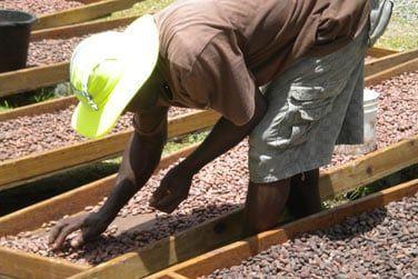 Découvrez une Plantation de Cacao ..