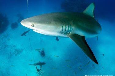 Nagez aux côtés des requins...