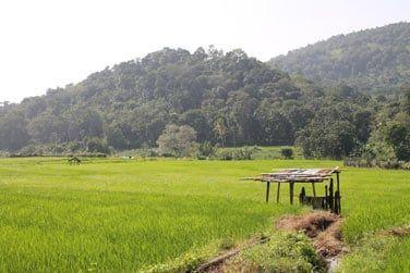 Paysages de rizières au Sri Lanka