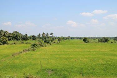 Les rizières verdoyantes