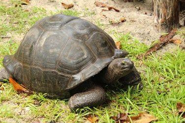 Vous croisierez certainement une des nombreuses tortues seychelloises