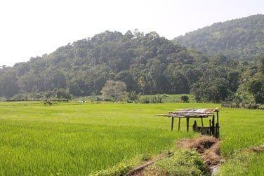 Les rizières du Sri Lanka...