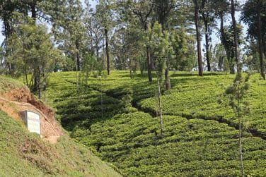 Plongez dans la région des montagnes recouvertes de plantations de thé...