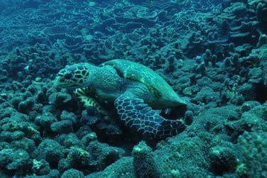 ou encore d'une tortue sous-marine...