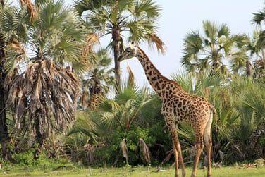 Rencontrez de nombreuses espèces sauvages : girafes...