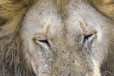 ... Les lions !