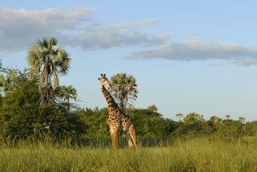 Girafes...