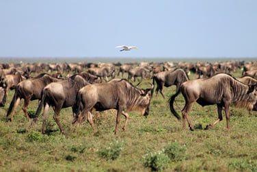 Migration des gnous...