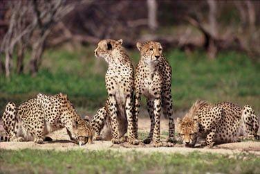 ... les guépards guettant leur prochaine proie...
