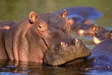 Observez les immenses hippopotames de la rivière...