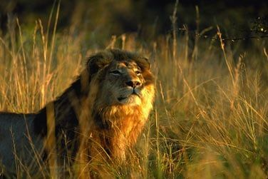 Le roi de la savane ...