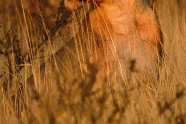 Contemplez les lionnes en pleine séance de chasse...