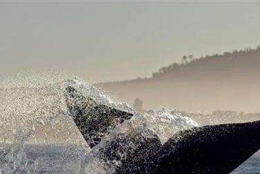 Ici vous pourrez observer les baleines australes