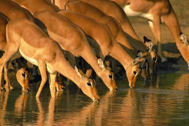... les gazelles venues boire l'eau de la rivière...