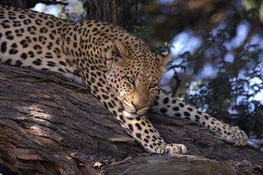 ... les léopards cachés entre les feuillages d'un arbre ...