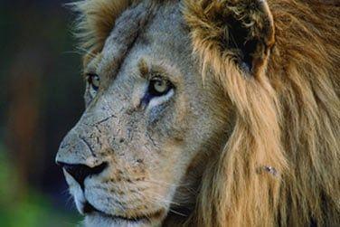 Admirez les lions majestueux...