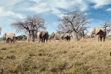 Passez tout près des impressionnants éléphants...