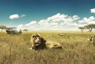 Rencontrez les majestueux lions...