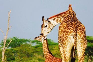 Faites la connaissance d'une petite famille de girafes