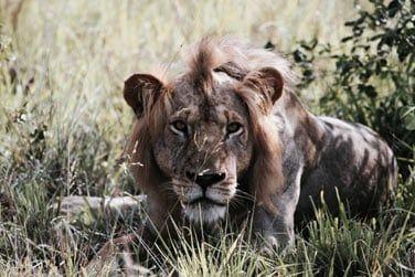 Rencontrez le roi de la savanne