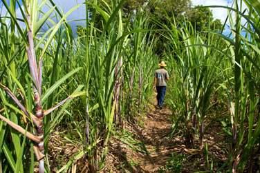 Visite agricole des champs de canne à sucre