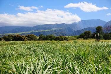 Les champs de canne à sucre