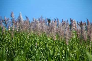 Les fleurs de canne à sucre