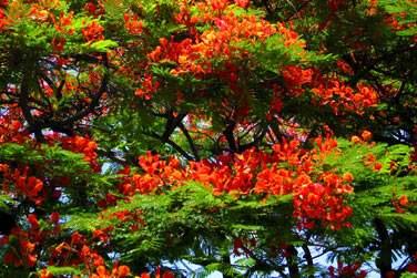 Superbe flamboyant en fleurs ...