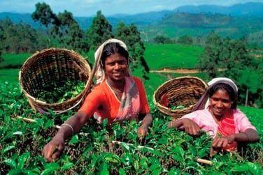 Au coeur des plantations, vous rencontrerez de nombreuses femmes qui font la cueillette des feuilles de thé