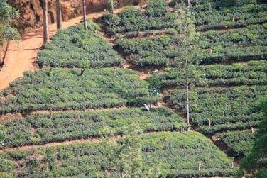 Au cœur des montagnes du centre de l'île, les plantations de thé sont partout !