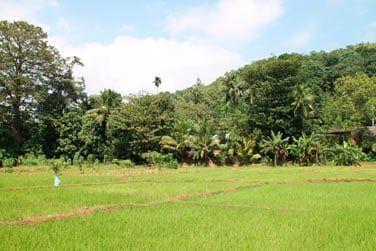 Profitez de votre circuit au Sri Lanka pour vous promener au coeur des rizières