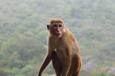 Le rocher de Sigiriya et ses célèbres peinture... Sans oublier la rencontre avec les singes