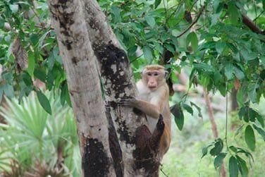 Attention, les singes sont partout !