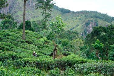 Vous aurez l'occasion de vous promener au cœur des plantations de thé.
